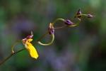 Ondontoglossum mystacinum by Gabby Salazar