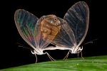 Clearwing Butterflies by Rick Stanley