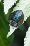 Tortoise Beetle by Gabby Salazar